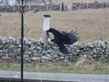 Chough 4 by Hayley Baker