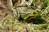Fat Marsh Frog