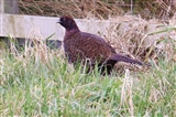 Strange-Looking Pheasant