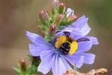 Heavily-Laden Bee