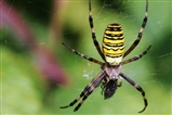 Wasp Spider In All Her Glory