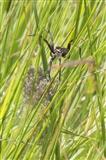 Raft Spider with Spiderlings at Arne taken 07/07/14