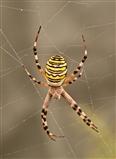 Arne Wasp Spider