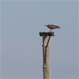 Autumn Osprey