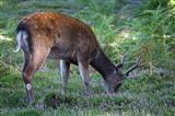Young buck feeding