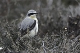 Wheatear on Coombe Heath