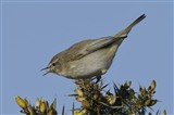 Chiffchaff with bug