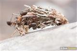 Bagworm vs. wood ants