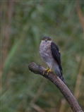 sparrow hawke
