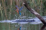 kingfisher in water