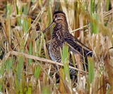 Snipe two