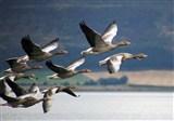 Loch Leven Geese in flight