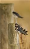 Swallows at Vane Farm