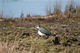Lapwing on wetland