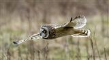 A Short Eared Owl