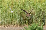 Marsh Harrier off to lunch!