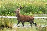 Red Deer Stag.