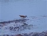 Common Sandpiper in the blue lagoon