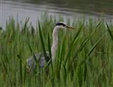 Grey Heron stalking its prey in the reeds
