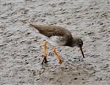 Redshank exploring the mud
