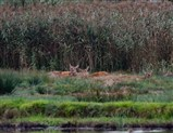 Lazy day for deer