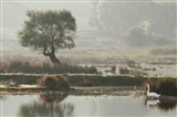 Misty morning Swan