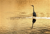 Great White Egret at sunrise