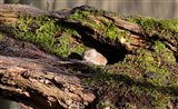 Vole in a hollow tree