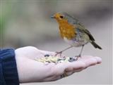Robin feeding at Leighton Moss
