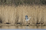 Otter Chasing a Heron at Leighton Moss
