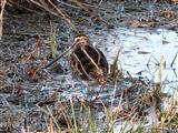 Snipe at Leighton Moss