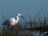 Little Egret at Leighton Moss