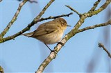My first Chiff Chaff this year