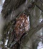 Lower Hide Tawny Owl