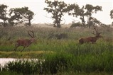 Red deer stags, Leighton Moss