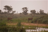 Red deer stags, Leighton Moss (2)