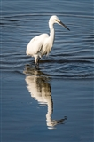 Little Egret reflection.