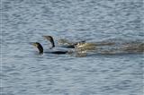Hi-speed Cormorants!
