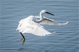 Little Egret landing..