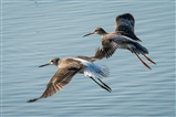 An unusual photo, a Greenshank and a Spotted Redshank (I think)
