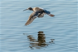 Spotted Redshank (I think)