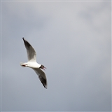 Black headed gull on the wing