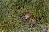 Snipe searching for food
