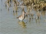 Black-tailed Godwit on the South Scrape
