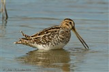 Common Snipe from East hide