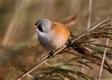 Bearded Tit's on North Wall path