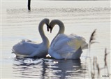 Swans Courting