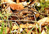Adder/Female