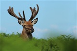 Red Deer Stag by M Eyres
