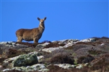 Deer on Ramsey Island